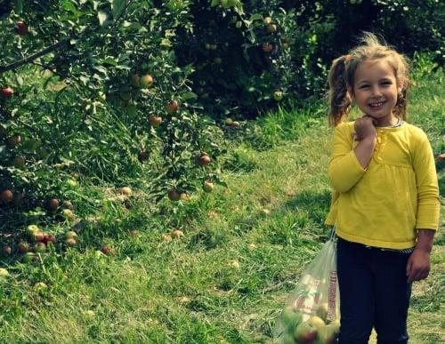 Apple picking Afton Apple