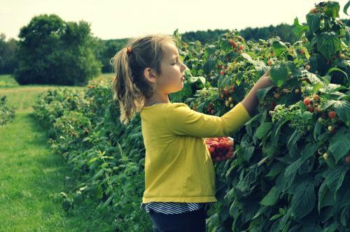 Berry Picking at Afton Apple